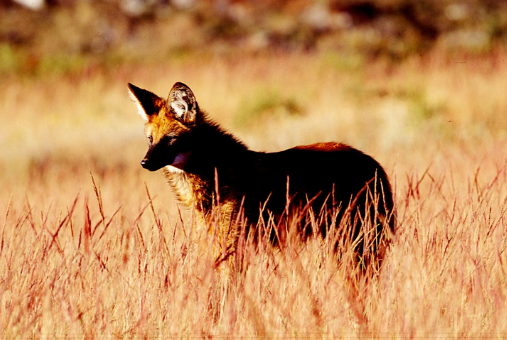 Silveira works today as a freelancer. In the image, a maned wolf photographed by him in the Serra da Canastra national park published in National Geographic Brazil. Photo: Alex Silveira